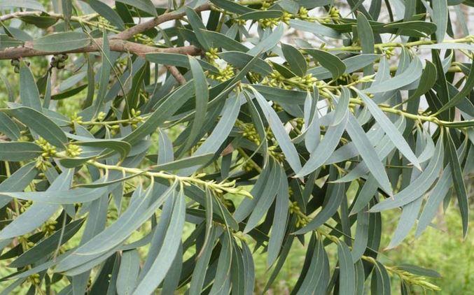 Eucalyptus citronée